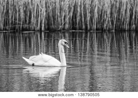 Swimming Swan In River In Black And White