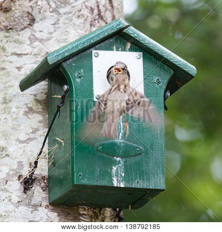 Adult Sparrow Feeding A Young Sparrow