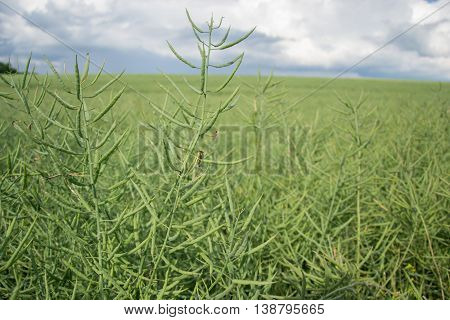 Ripe seeds of rape. Field of green ripeness oilseed rape isolated on a cloudy blue sky in summer time (Brassica napus), Canola corp, rapeseed plant landscape. Slovakia