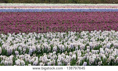 Beautiful Hyacinth Flower Fields in Netherlands. Vibrant floral background.