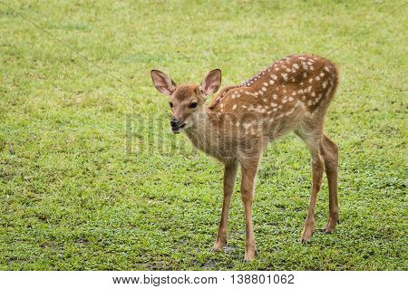 closeup of bleating red deer fawn on meadow