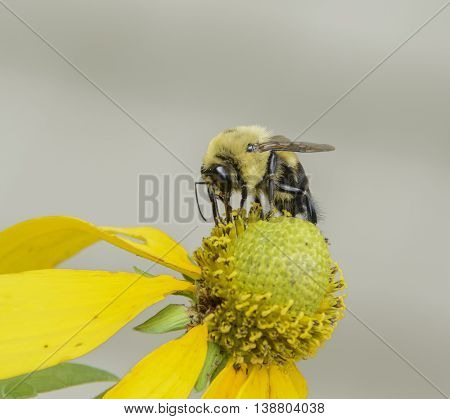 A Common Eastern Bumble Bee - (Bombus impatiens) - gathering nectar from a flower in York County, Pennsylvania, USA.