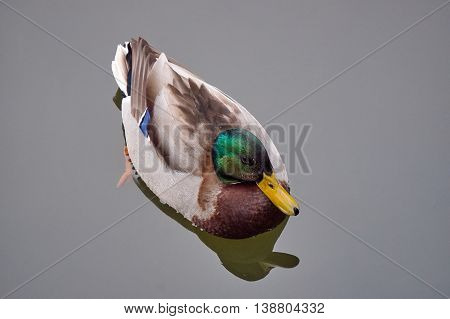 A male mallard duck floating on the pond