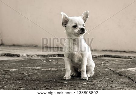 white puppy chihuahua sits looking into the distance