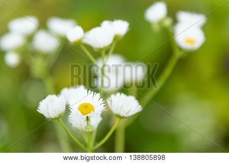 Green background of blurry camomiles with one in focus