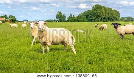 Group of sheep in a Dutch meadow with fresh green grass on a sunny summer day. Two white sheep looking very surprised.