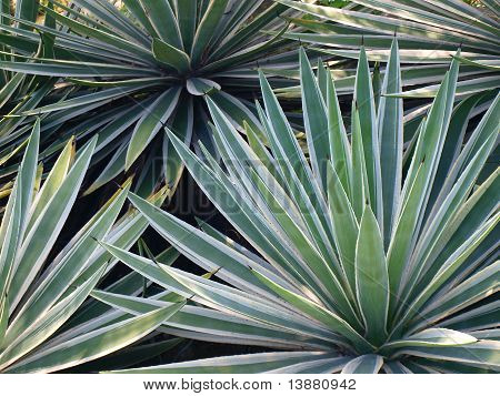 ropical yucca plants