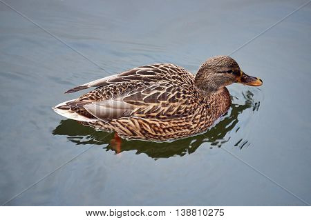 A female mallard duck floating on the pond