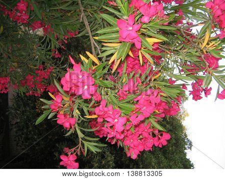 Planta de  azalea. Flor bella, llena de color  y resistente. Muy apreciada. Atardecer en el parque de la ciudad de Zaragoza. España.
