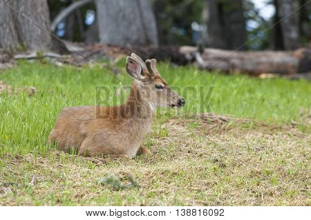 Male deer laying in the grass on top of Hurricane Ridge in Washington.