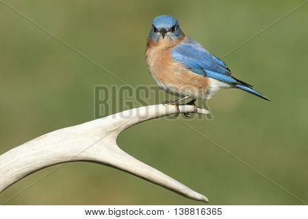 Male Eastern Bluebird (Sialia sialis) on a deer antler with a green background