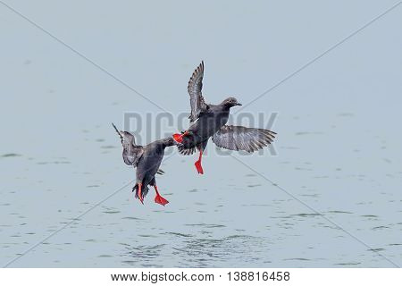 Two pigeon guillemot fly just above water in Westport Washington.