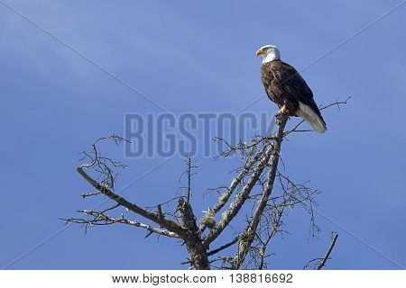 Eagle perched in tree in western Washington.
