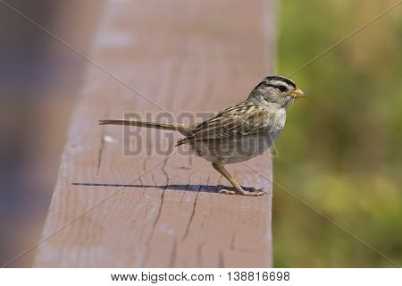Sideview of white crowned sparrow in Westport Washington.