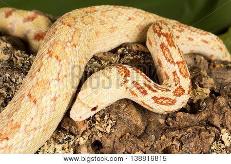 Top view on a 180cm long adult albino bullsnake