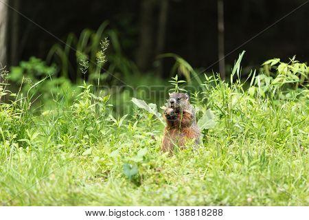 A lone ground hog feeding on a carrot