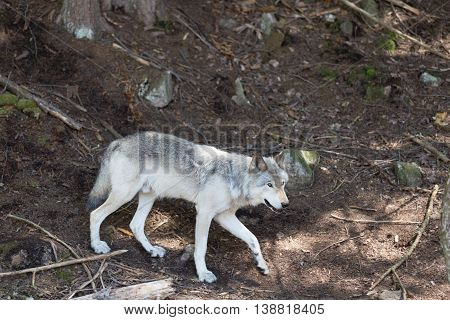 A lone timber wolf in a summer forest