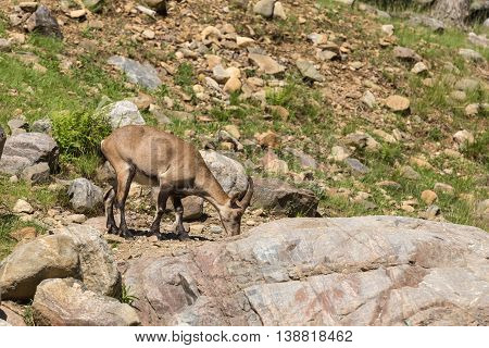 A lone ibex feeding in the summer time