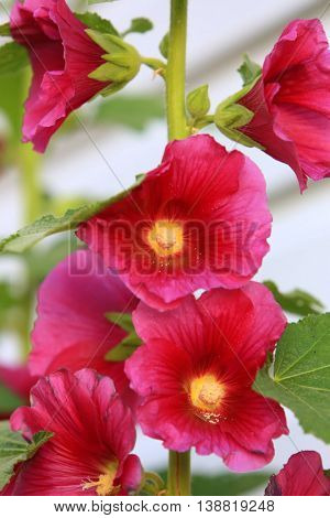 burgundy red holly hock flowers summer garden
