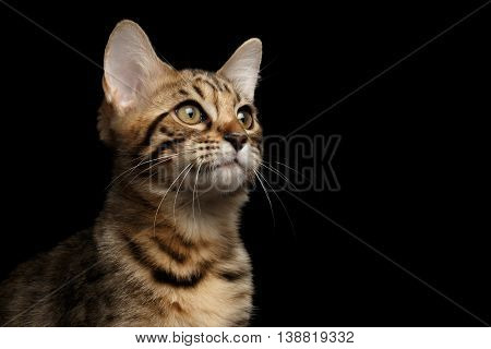 Closeup Portrait of Bengal female Kitty, Curious Looks up Isolated on Black Background, Side view