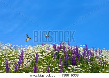 Two playful Hummingbirds against bright summer background