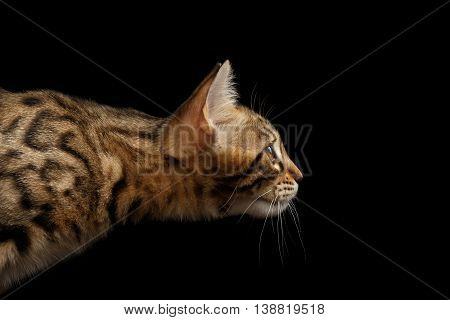 Closeup Portrait of Bengal Kitty Stare, Isolated Black Background, Profile view