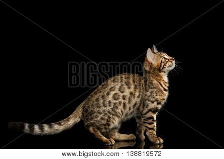 Playful Bengal Kitty Funny Sitting and Curious Looking up Isolated Black Background, Beautiful Spots on gold, Side view