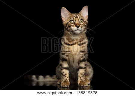 Little Bengal Kitty Sitting and Curious Looking up Isolated Black Background, Beautiful Spots on gold, Font view