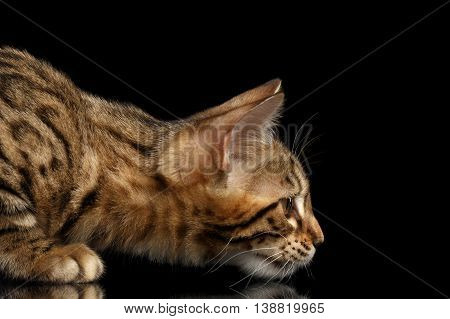 Closeup Hunting Little Bengal Kitty Stare, Isolated Black Background, Profile view