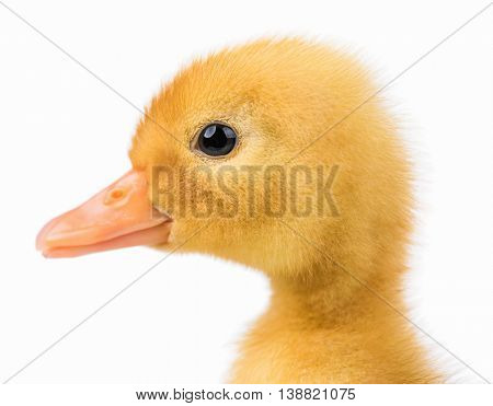 Cute domestic duckling, isolated on white background