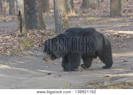 Sloth Bear in the Forest in Bandhavgarh National Park in India