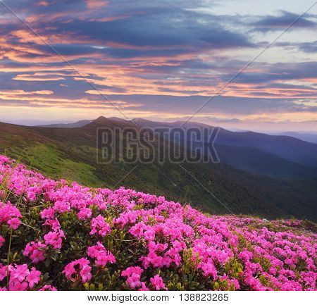 Mountain flowers in the meadow. Blooming pink rhododendron in the wild. Sky with beautiful clouds at sunset. Karpaty, Ukraine, Europe