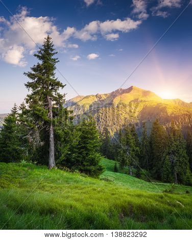 Spruce tree on a hillside near a pine forest. Summer landscape in the mountains. Sun over the mountain ridge. Morning light. Karpaty, Ukraine, Europe