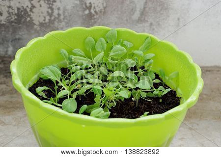Lot of small green Vegetable in plastic plot