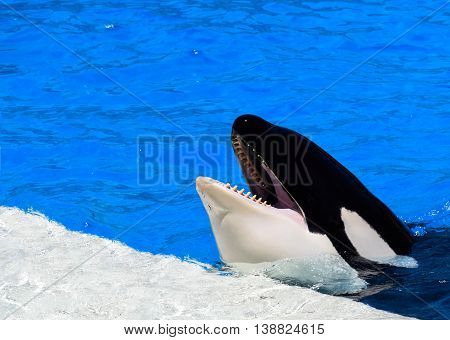 Killer whale entertaining the crowd in San Diego, California