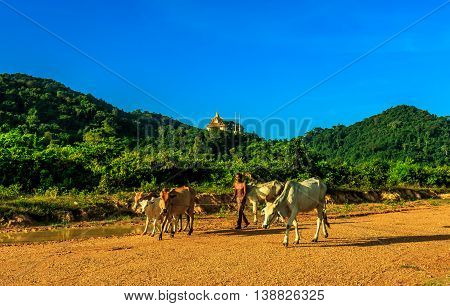 A farmer leads his ox past rolling green hills with a buddhist temple in the Cambodia countryside