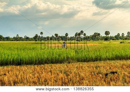 A farmer goes to work in a green field in the Cambodian countryside