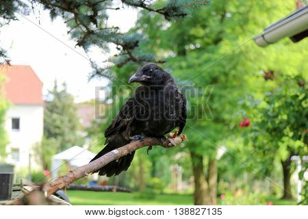 Black Crow, Corvus, Corone,