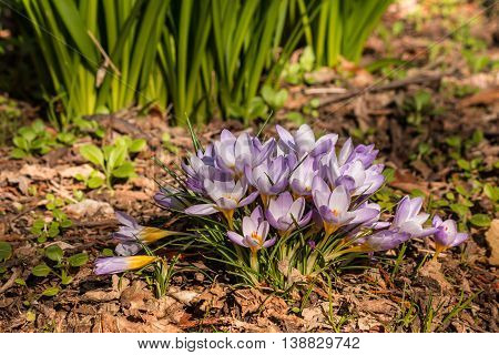 closeup of purple crocus flowers in bloom