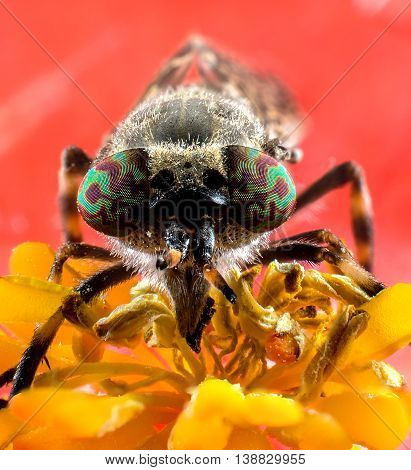 Insect horsefly with color eyes on red flower extreme macro photography