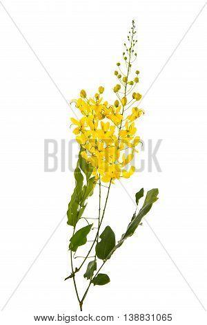 Cassia fistula flower isolated on white backgroundisolated