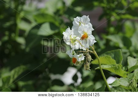 Blossom of Potato Plant on the Field
