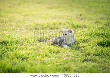 Close up cute American Shorthair kitten lying and looking on green grass