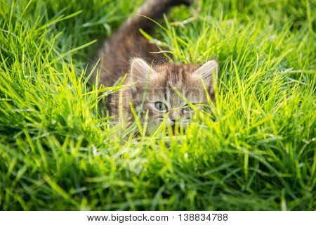 Cute tabby kitten hiding in green grass
