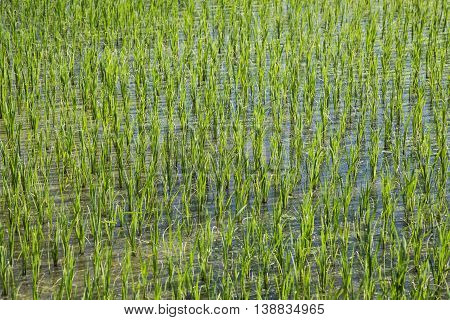 Rice field in new planting season, higher view. New grown rice plant in the paddy field.