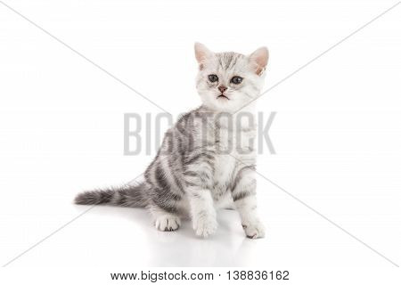 Cute American shorthair kitten sitting on white background isolated