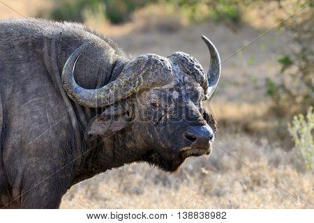 Wild big African buffalo bull. Africa, Kenya