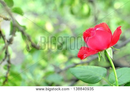 Beautiful red rose growing outdoors in the garden. Green grass and tree branches blurred backgroun