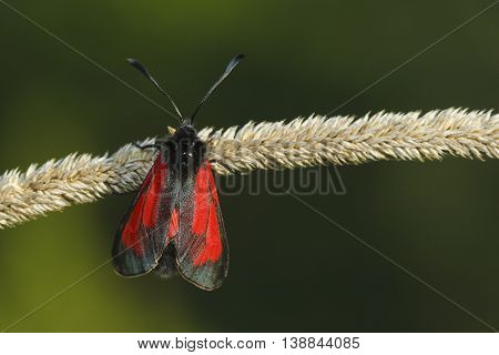 Transparent Burnet moth Zygaena purpuralis on the green background