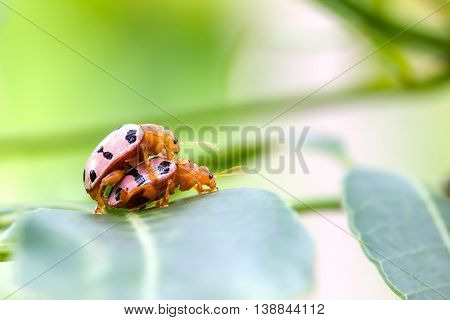 Convergent Lady Beetles mating on a green leaf with copyspace